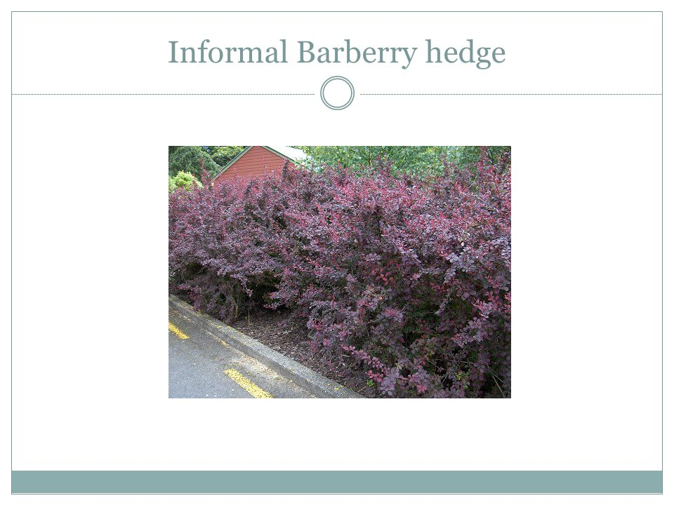 Informal Barberry hedge