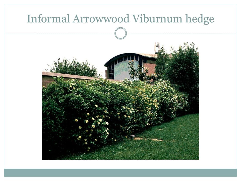 Informal Arrowwood Viburnum hedge