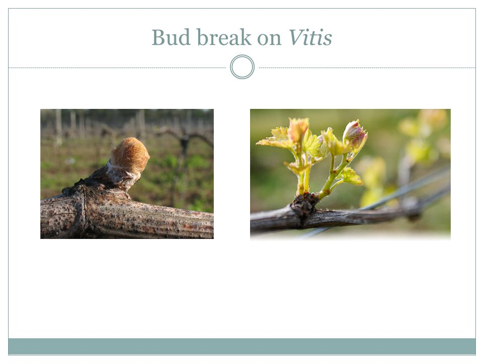 Bud break on Vitis
