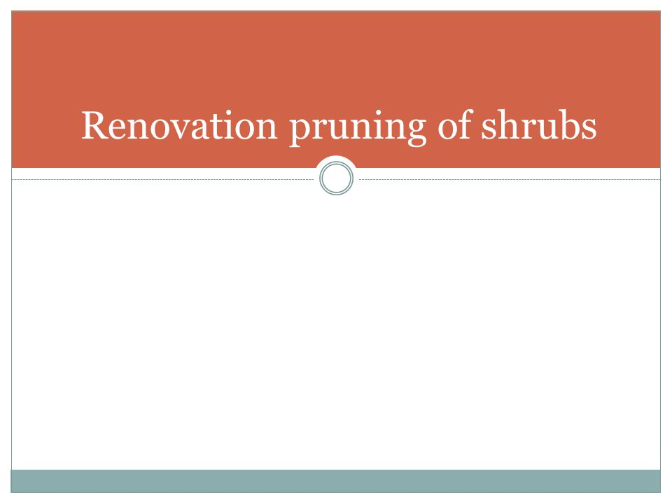 Renovation pruning of shrubs