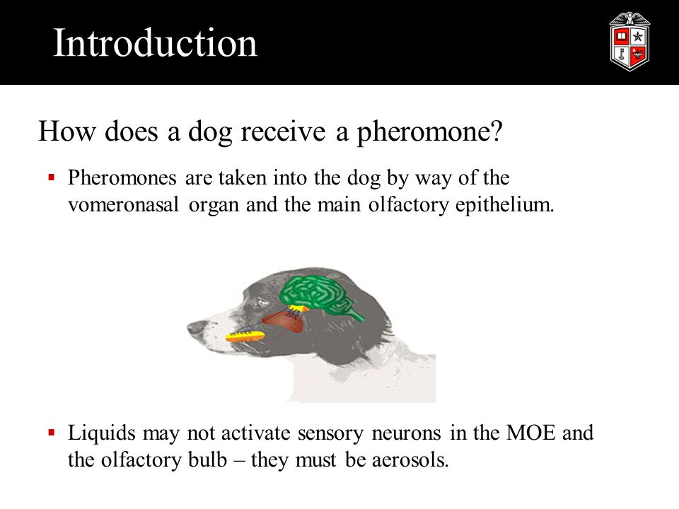 Introduction How does a dog receive a pheromone?  Pheromones are taken into the dog by way of the vomeronasal organ and the main olfactory epithelium