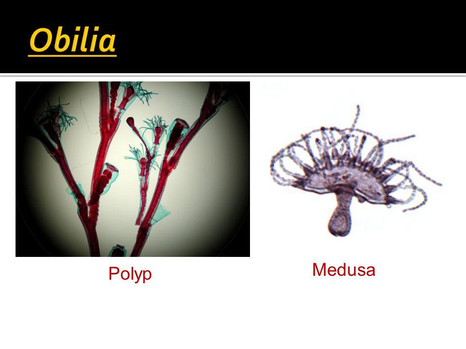 Polyp Medusa