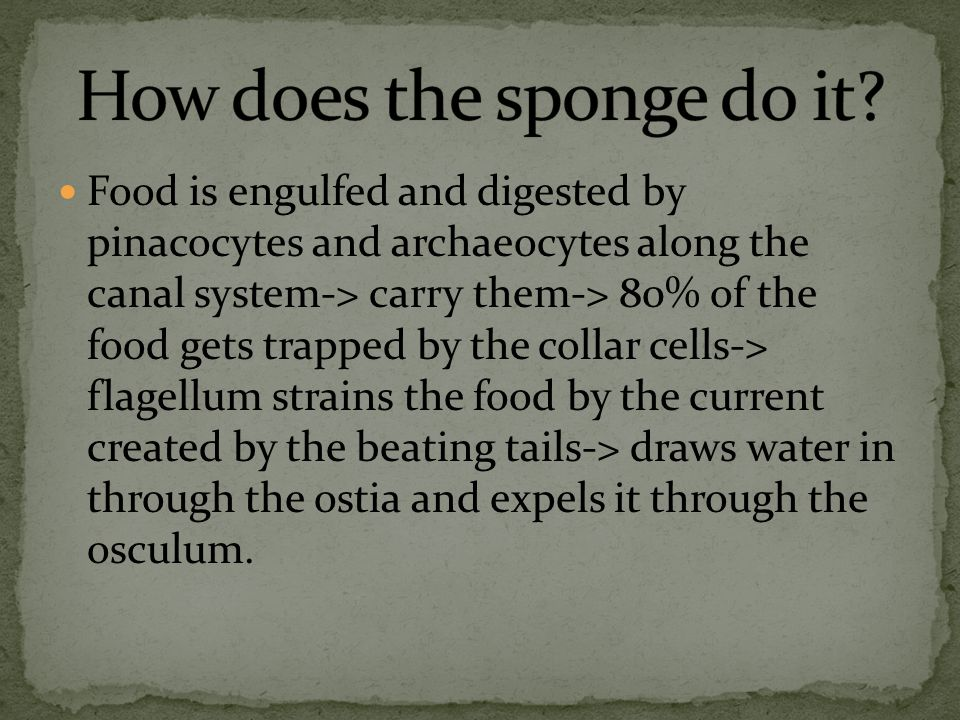 Food is engulfed and digested by pinacocytes and archaeocytes along the canal system-> carry them-> 80% of the food gets trapped by the collar cells-> flagellum strains the food by the current created by the beating tails-> draws water in through the ostia and expels it through the osculum.