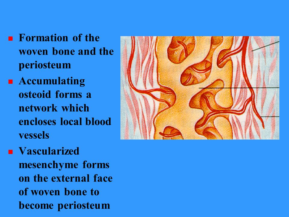 Formation of the woven bone and the periosteum Accumulating osteoid forms a network which encloses local blood vessels Vascularized mesenchyme forms o