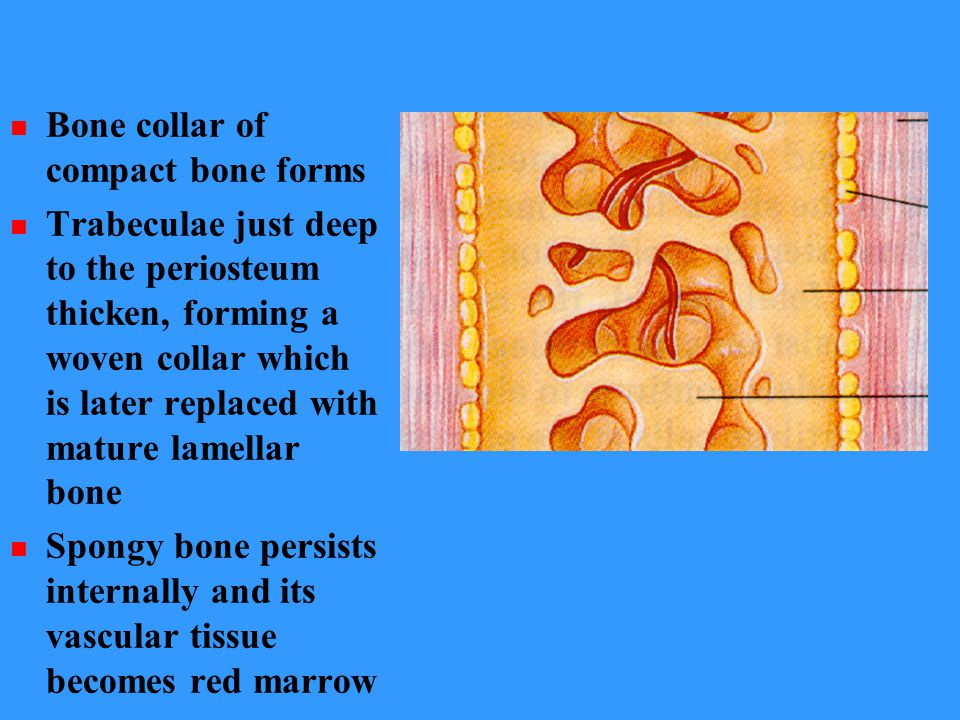 Bone collar of compact bone forms Trabeculae just deep to the periosteum thicken, forming a woven collar which is later replaced with mature lamellar