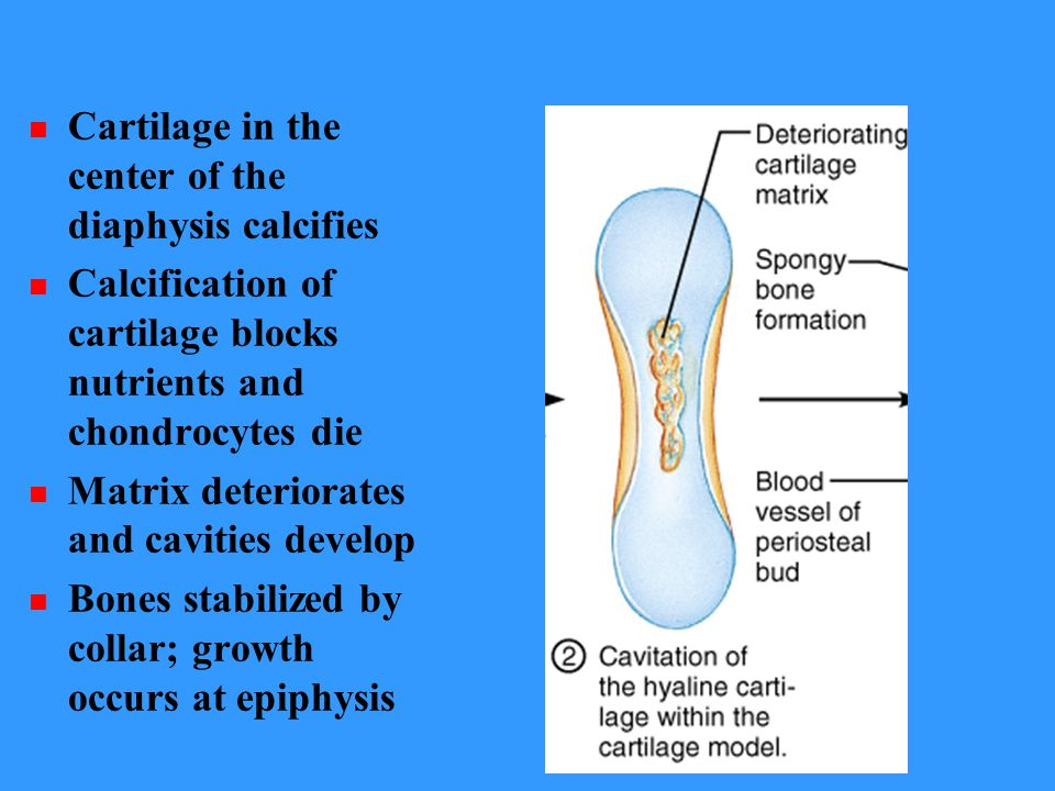 Cartilage in the center of the diaphysis calcifies Calcification of cartilage blocks nutrients and chondrocytes die Matrix deteriorates and cavities develop Bones stabilized by collar; growth occurs at epiphysis