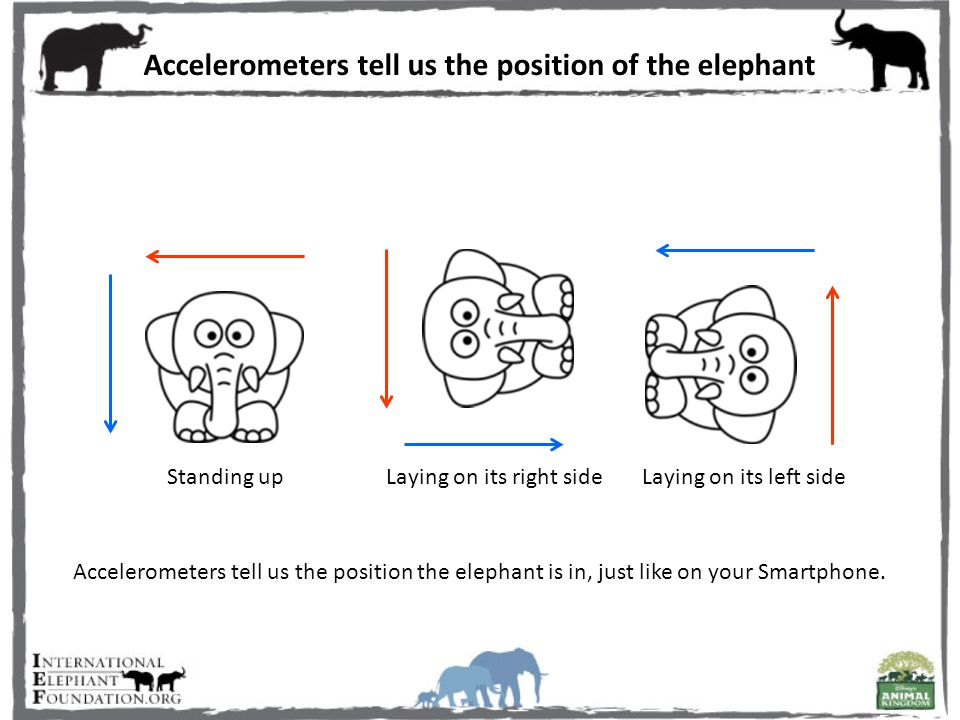 Accelerometers tell us the position of the elephant Accelerometers tell us the position the elephant is in, just like on your Smartphone.