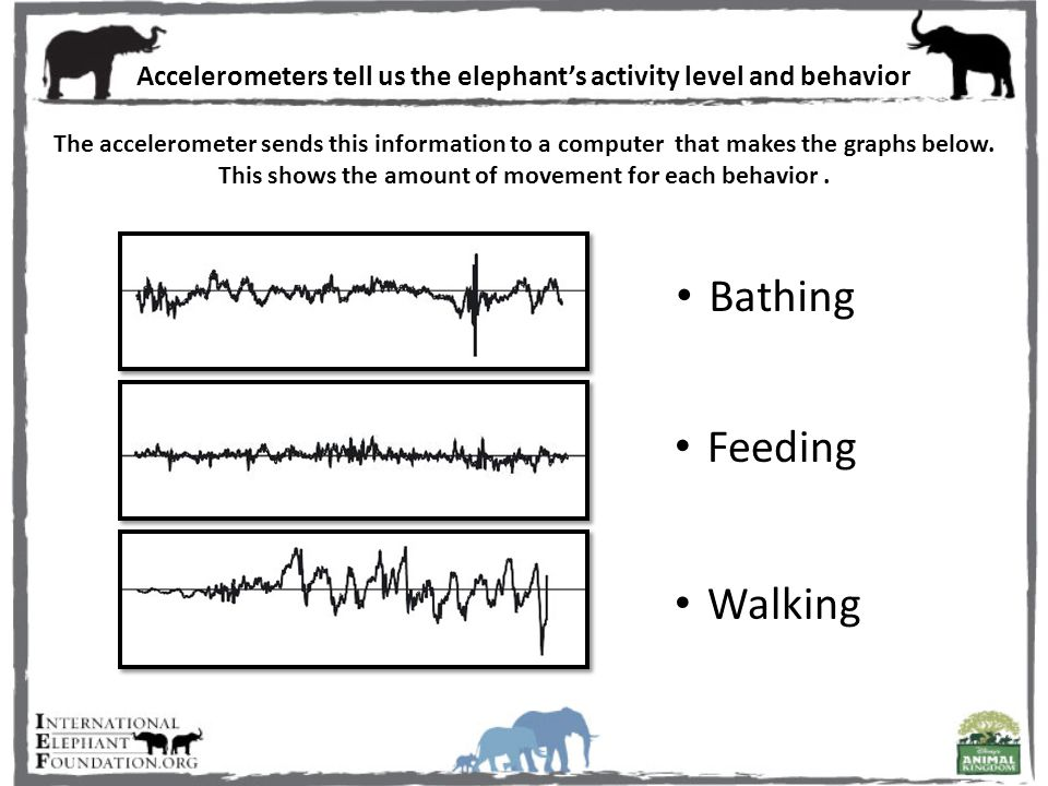 Accelerometers tell us the elephant's activity level and behavior The accelerometer sends this information to a computer that makes the graphs below.