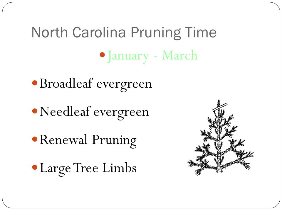 North Carolina Pruning Time January - March Broadleaf evergreen Needleaf evergreen Renewal Pruning Large Tree Limbs