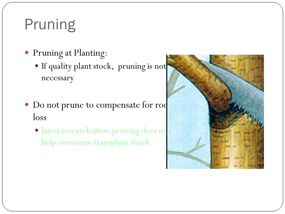 Pruning Pruning at Planting: If quality plant stock, pruning is not necessary Do not prune to compensate for root loss latest research show pruning does not help overcome transplant shock