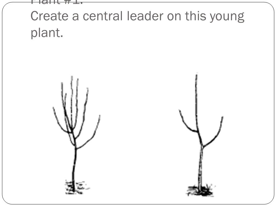 Plant #1: Create a central leader on this young plant.