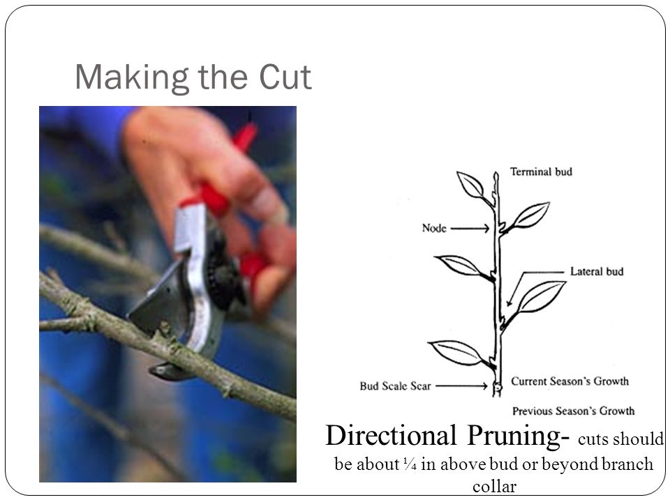 Pruning Limbs An Improper Cut made through the branch collar will take 3x longer to heal