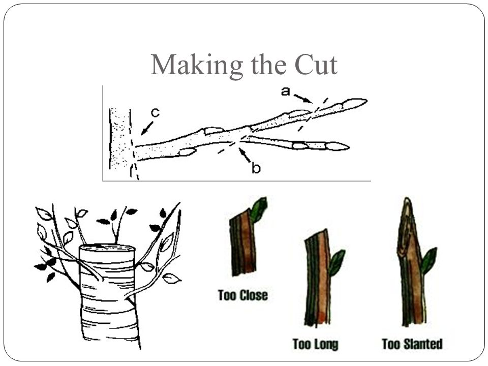 Pruning Technique Heading Removes a part of a shoot Thinning Removes the entire shoot or limb
