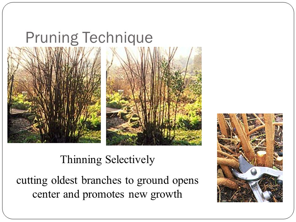 Pruning Technique Heading Use for small leaf hedges Creates dense, tight foliage