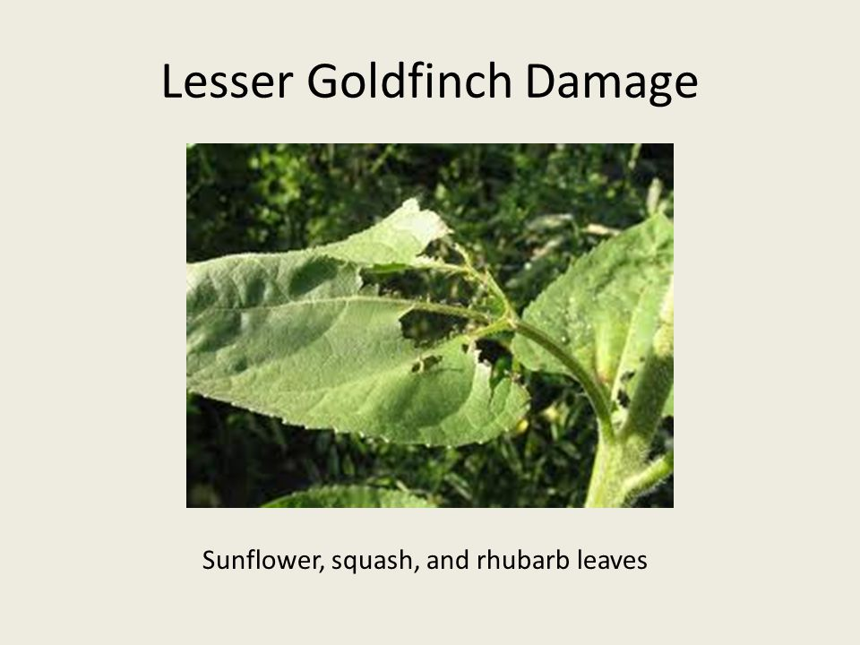 Lesser Goldfinch Damage Sunflower, squash, and rhubarb leaves