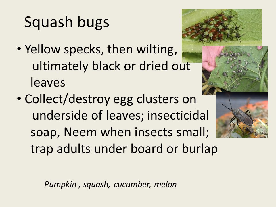 Squash bugs Yellow specks, then wilting, ultimately black or dried out leaves Collect/destroy egg clusters on underside of leaves; insecticidal soap, Neem when insects small; trap adults under board or burlap Pumpkin, squash, cucumber, melon