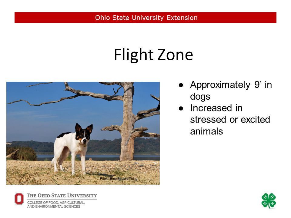 Flight Zone Ohio State University Extension Flickr: Blue Square Thing ●Approximately 9' in dogs ●Increased in stressed or excited animals