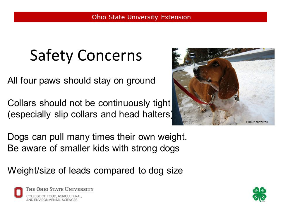 Safety Concerns Ohio State University Extension All four paws should stay on ground Collars should not be continuously tight (especially slip collars and head halters) Dogs can pull many times their own weight.