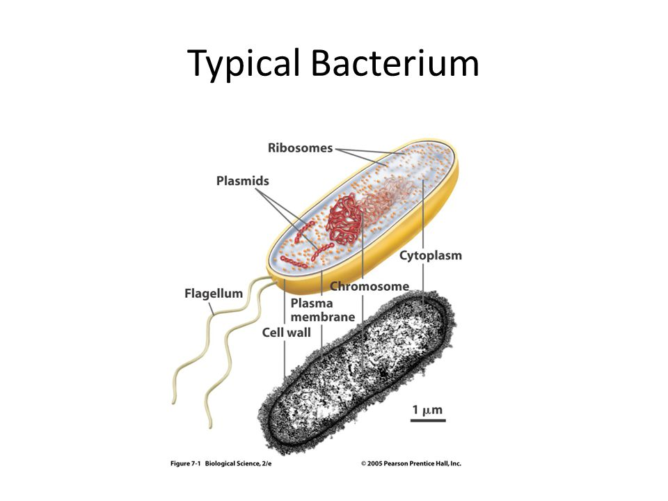 Typical Bacterium