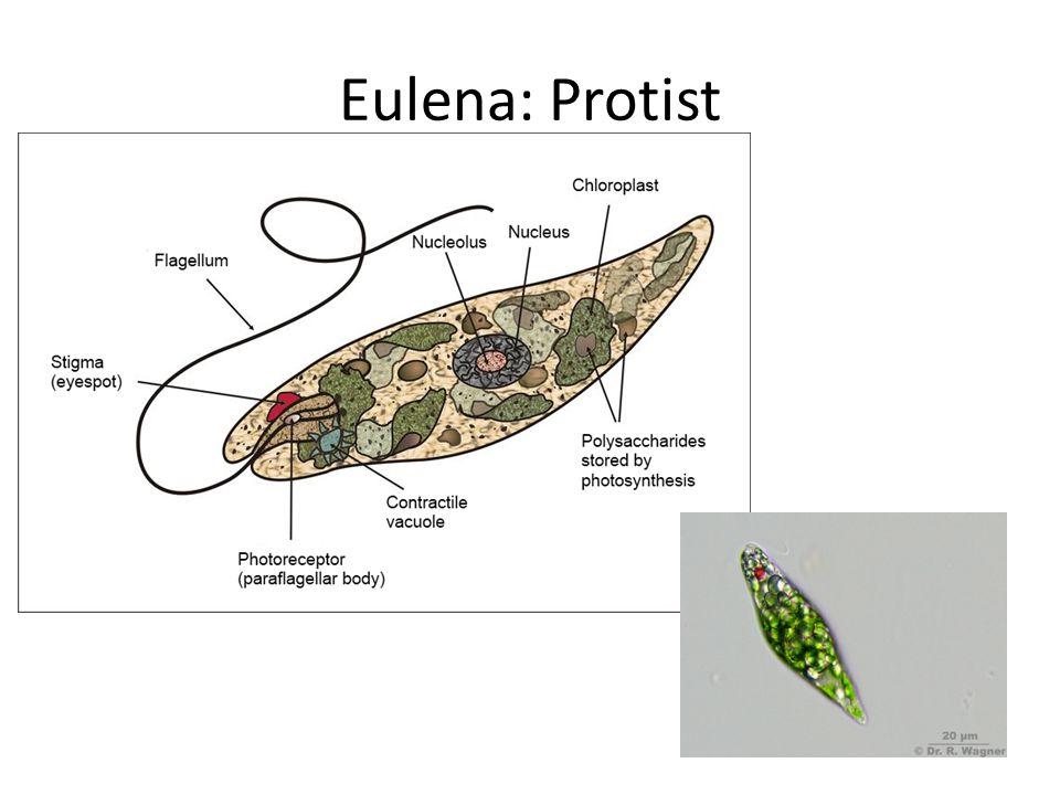 Eulena: Protist