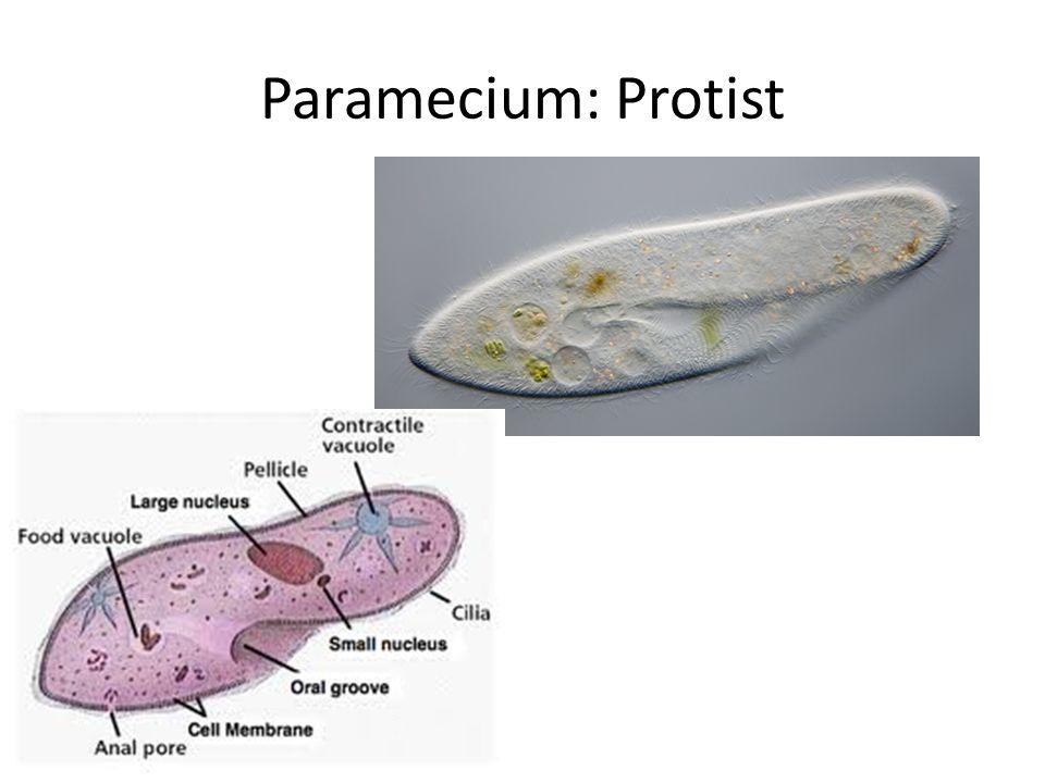 Paramecium: Protist