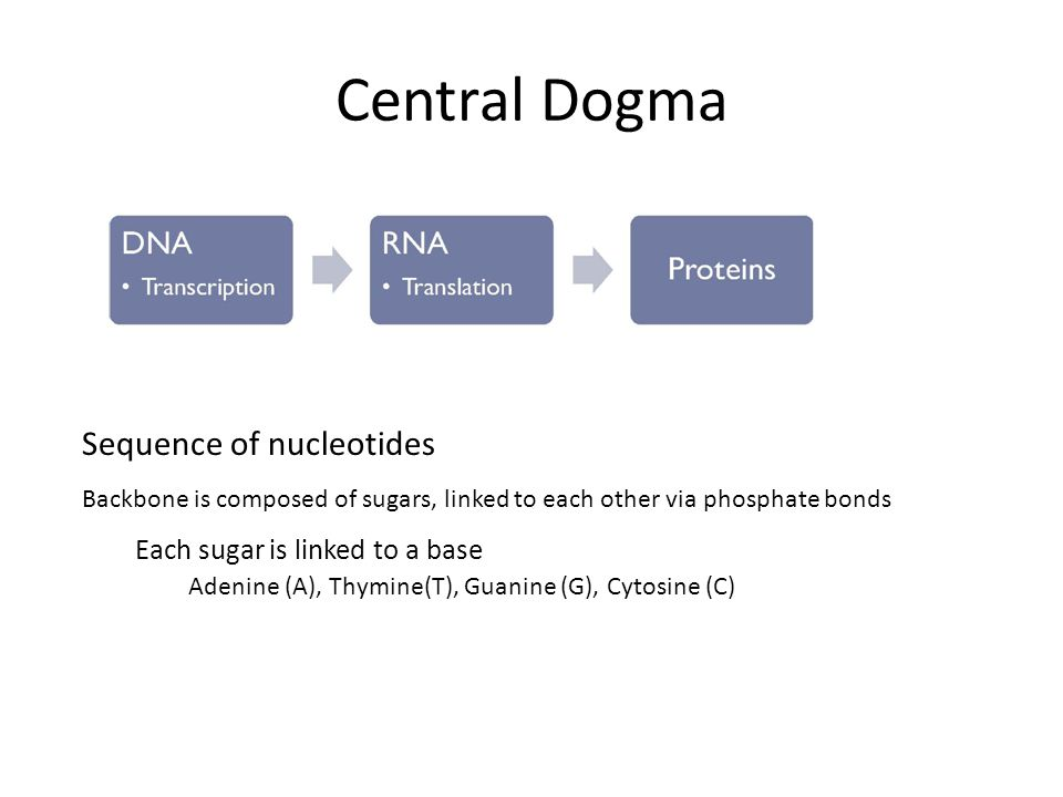 Central Dogma Sequence of nucleotides Backbone is composed of sugars, linked to each other via phosphate bonds Each sugar is linked to a base Adenine (A), Thymine(T), Guanine (G), Cytosine (C)