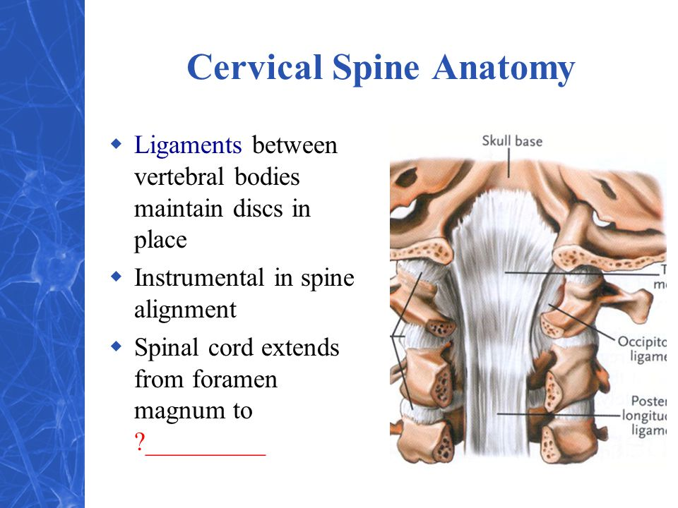 Cervical Spine Anatomy  Ligaments between vertebral bodies maintain discs in place  Instrumental in spine alignment  Spinal cord extends from foramen magnum to ?_________