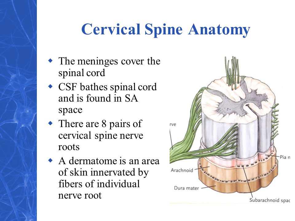 Cervical Spine Anatomy  The meninges cover the spinal cord  CSF bathes spinal cord and is found in SA space  There are 8 pairs of cervical spine nerve roots  A dermatome is an area of skin innervated by fibers of individual nerve root