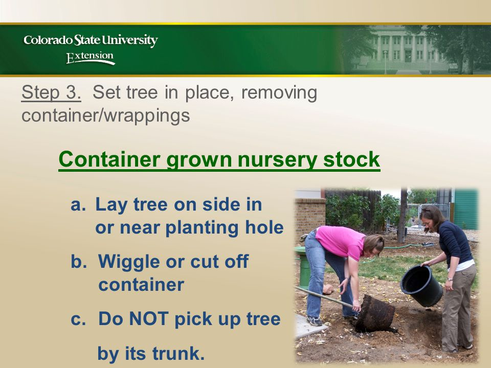 Container grown nursery stock a.Lay tree on side in or near planting hole b.Wiggle or cut off container c.Do NOT pick up tree by its trunk.