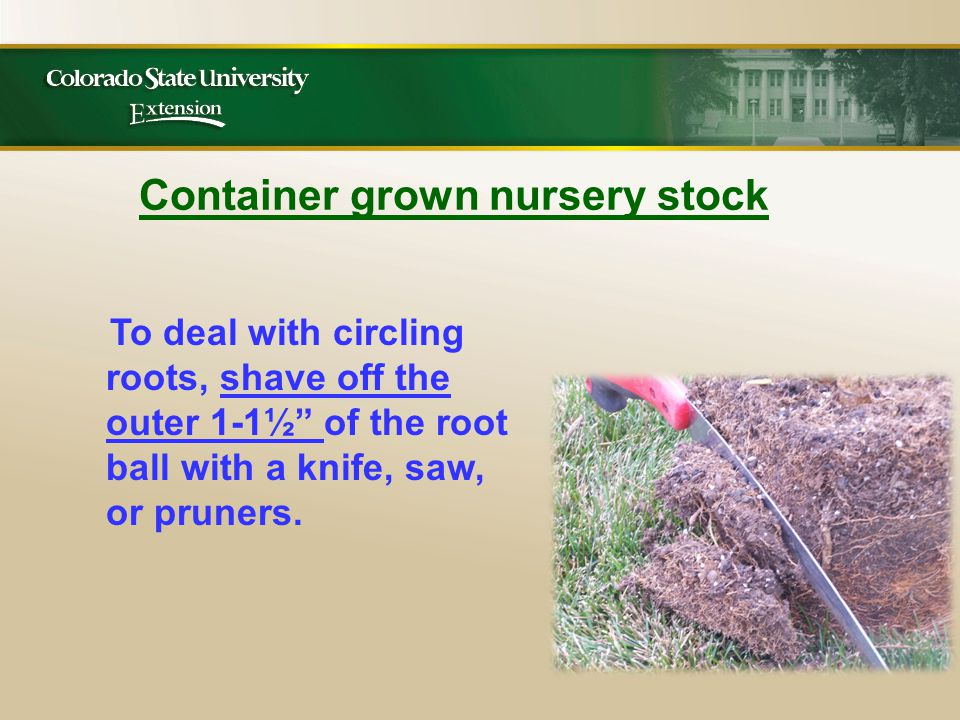 Container grown nursery stock To deal with circling roots, shave off the outer 1-1½ of the root ball with a knife, saw, or pruners.