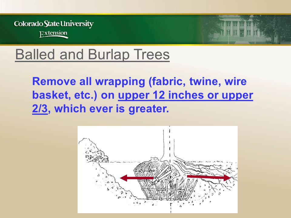 Remove all wrapping (fabric, twine, wire basket, etc.) on upper 12 inches or upper 2/3, which ever is greater.