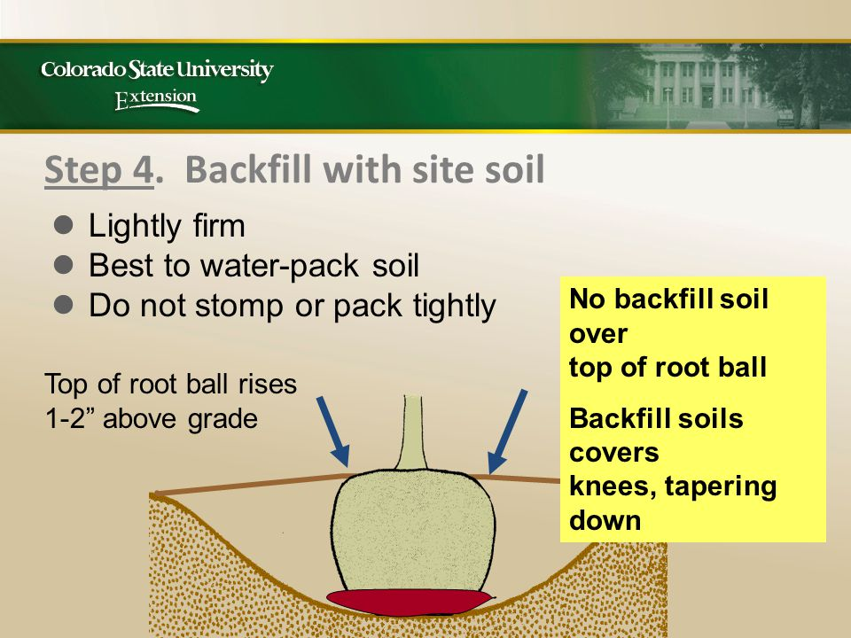 """Step 4. Backfill with site soil No backfill soil over top of root ball Backfill soils covers knees, tapering down Top of root ball rises 1-2"""" above gr"""