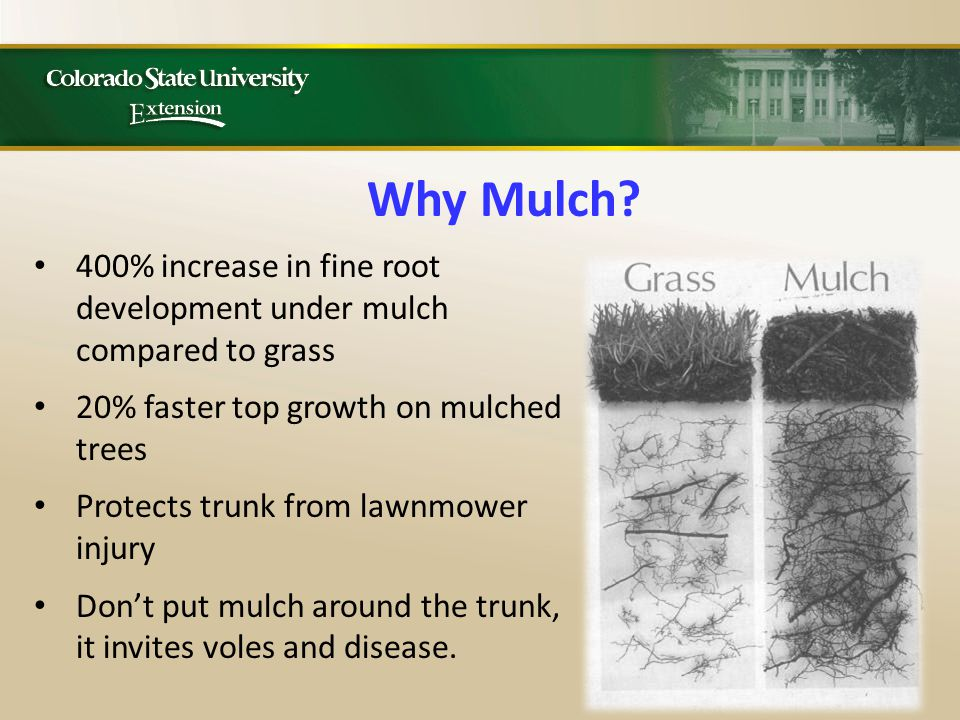 400% increase in fine root development under mulch compared to grass 20% faster top growth on mulched trees Protects trunk from lawnmower injury Don't put mulch around the trunk, it invites voles and disease.