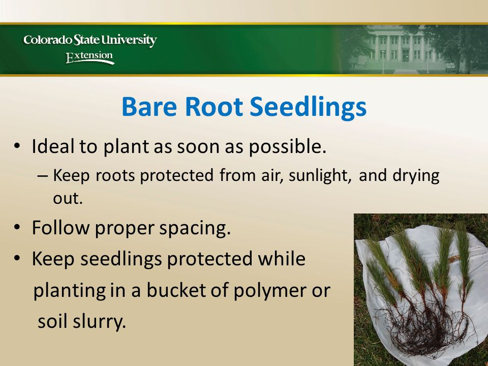 Bare Root Seedlings Ideal to plant as soon as possible.