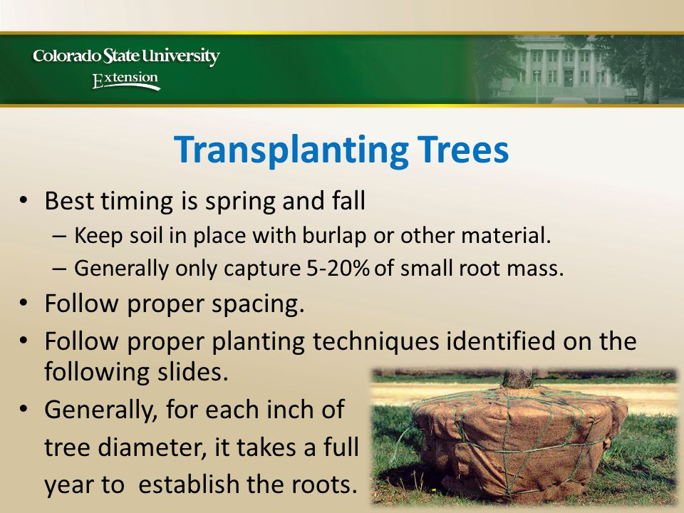 Transplanting Trees Best timing is spring and fall – Keep soil in place with burlap or other material.