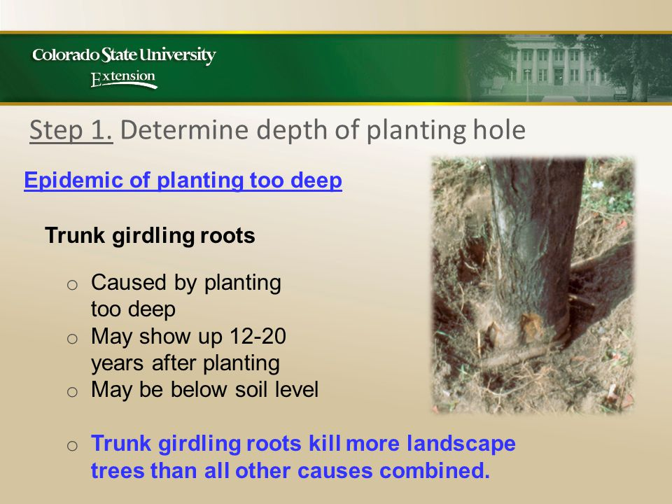 Step 1. Determine depth of planting hole Epidemic of planting too deep Trunk girdling roots o Caused by planting too deep o May show up 12-20 years af