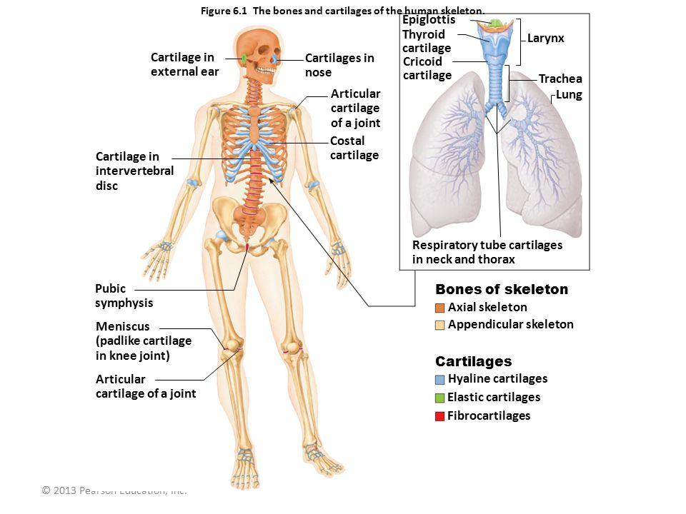 © 2013 Pearson Education, Inc.Figure 6.6 A single osteon.