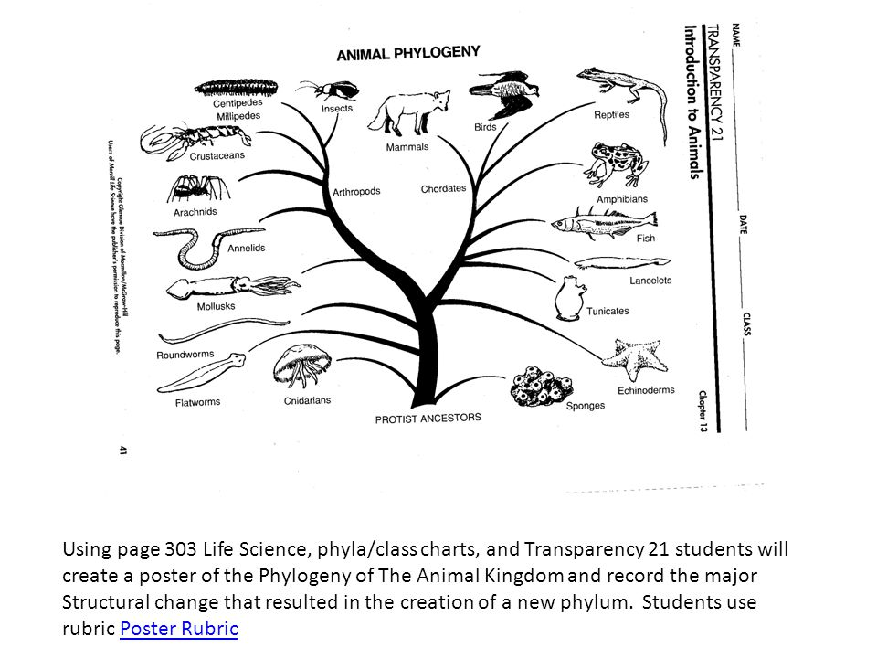 Using page 303 Life Science, phyla/class charts, and Transparency 21 students will create a poster of the Phylogeny of The Animal Kingdom and record t