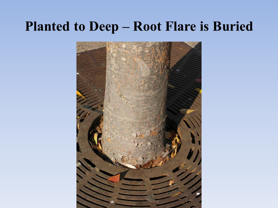 Planted to Deep – Root Flare is Buried