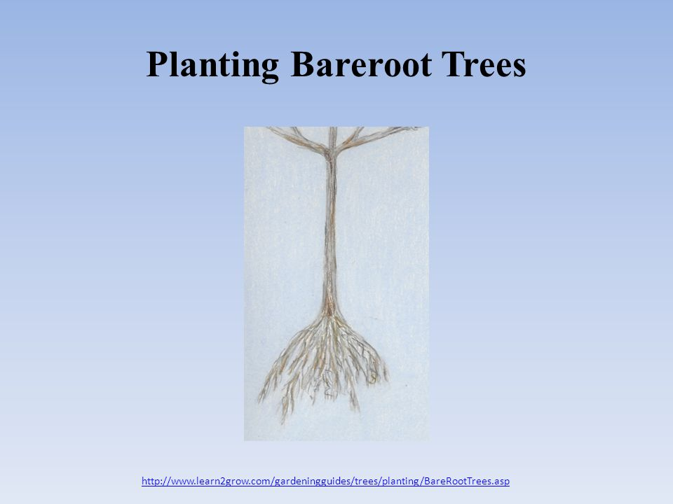 Planting Bareroot Trees http://www.learn2grow.com/gardeningguides/trees/planting/BareRootTrees.asp