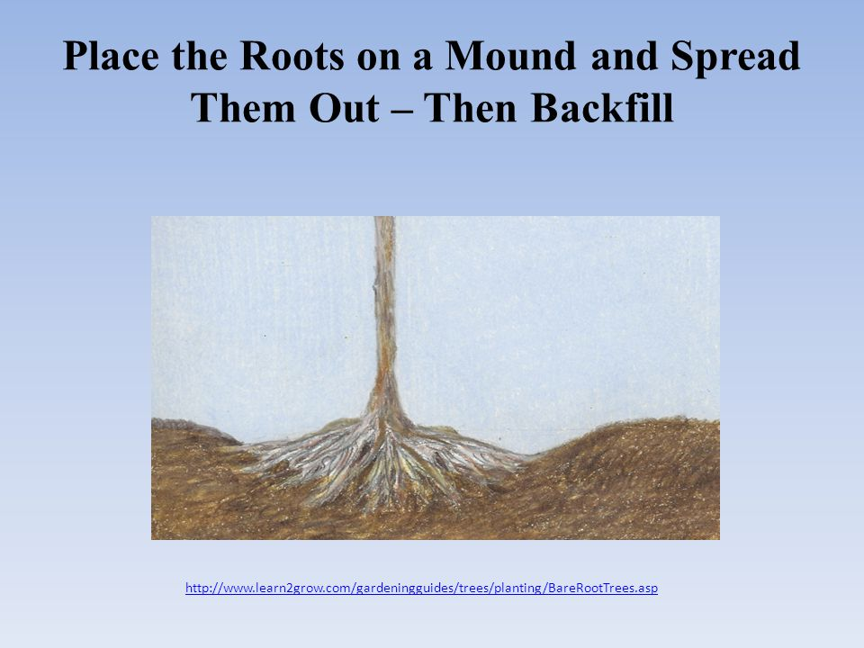 Place the Roots on a Mound and Spread Them Out – Then Backfill http://www.learn2grow.com/gardeningguides/trees/planting/BareRootTrees.asp