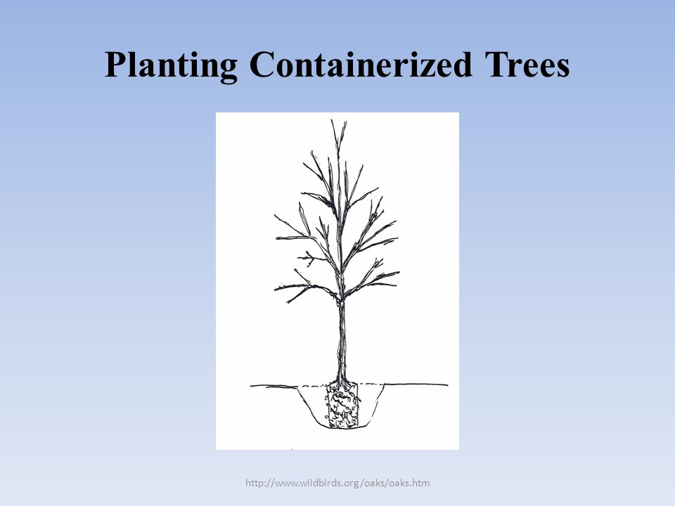Planting Containerized Trees http://www.wildbirds.org/oaks/oaks.htm
