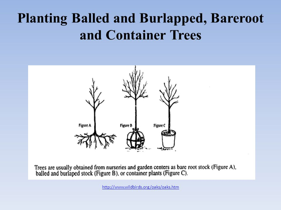 Planting Balled and Burlapped, Bareroot and Container Trees http://www.wildbirds.org/oaks/oaks.htm