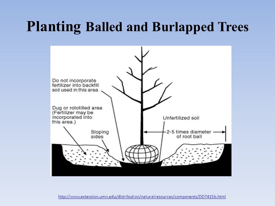 Tips for Planting B and B Trees All ties, burlap and wire cages should be removed If the tree is too large to remove the entire cage, remove the upper 1/3 to 2/3s of the cage – use tin snips for removal – roots of trees are usually found in the upper 24-36 of the soil Back fill the hole with soil that is unamended