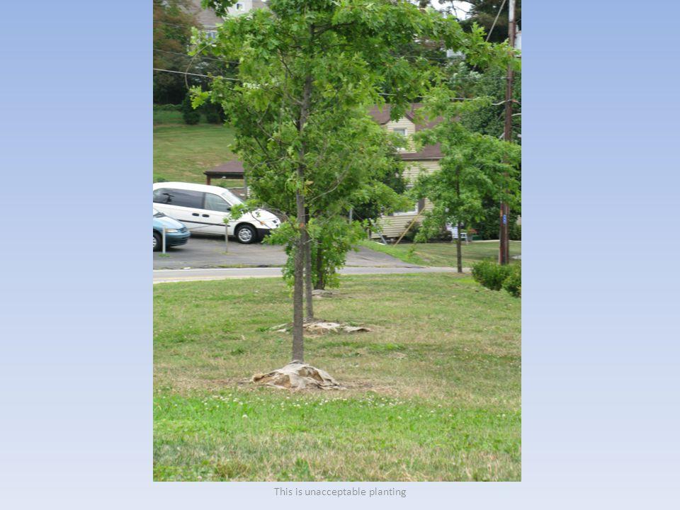Tree pruned outside branch collar