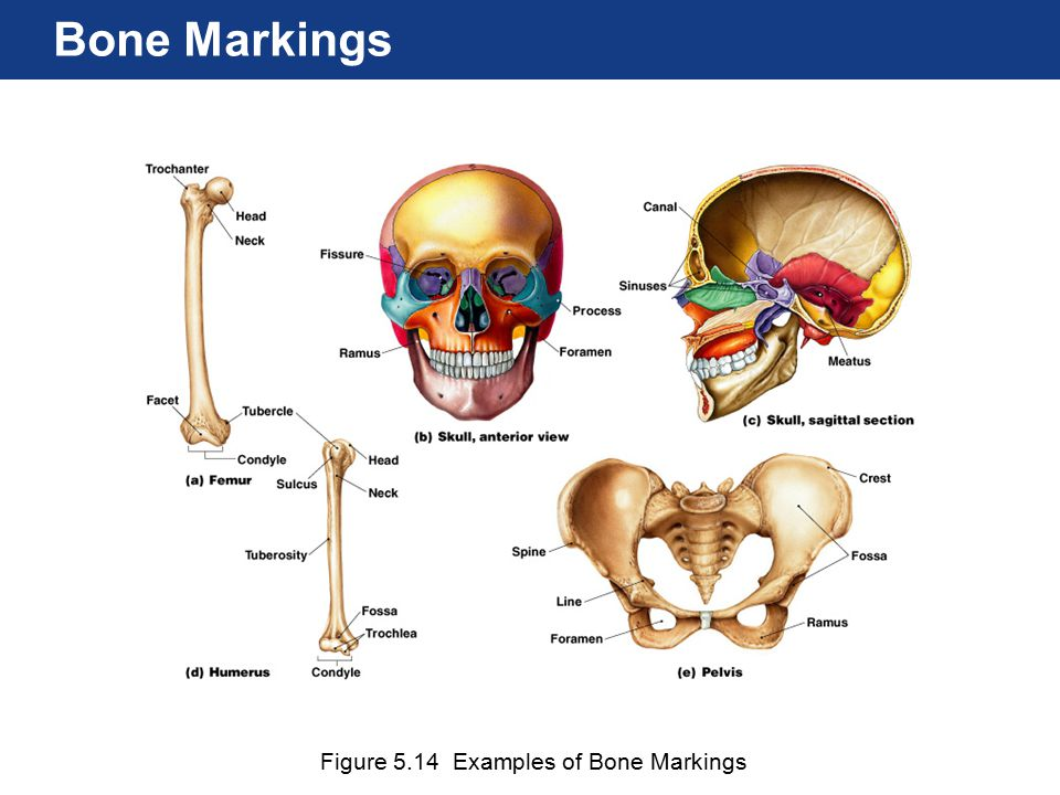 Figure 5.13 Shapes of Bones Classification of Bones