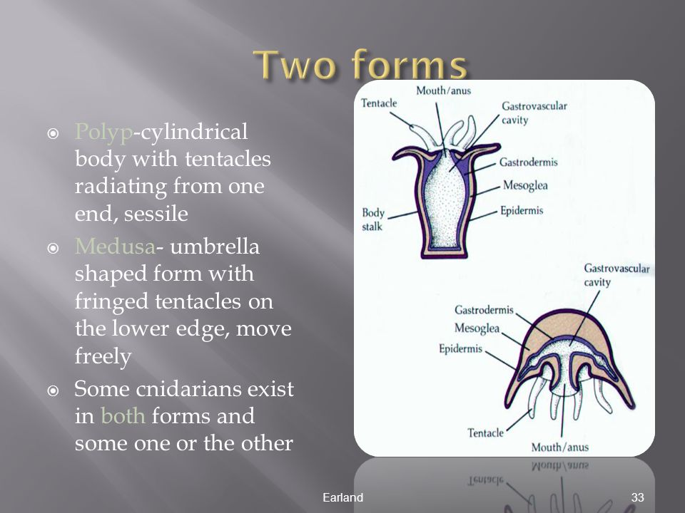  Polyp-cylindrical body with tentacles radiating from one end, sessile  Medusa- umbrella shaped form with fringed tentacles on the lower edge, move