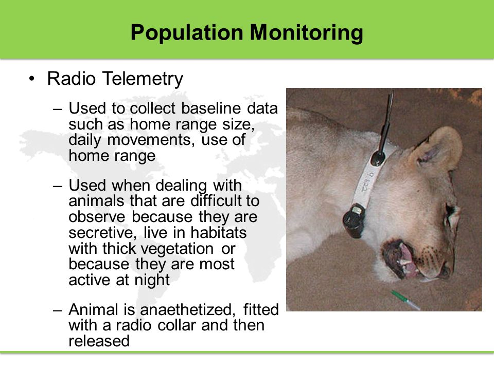 Population Monitoring Radio Telemetry –Used to collect baseline data such as home range size, daily movements, use of home range –Used when dealing with animals that are difficult to observe because they are secretive, live in habitats with thick vegetation or because they are most active at night –Animal is anaethetized, fitted with a radio collar and then released