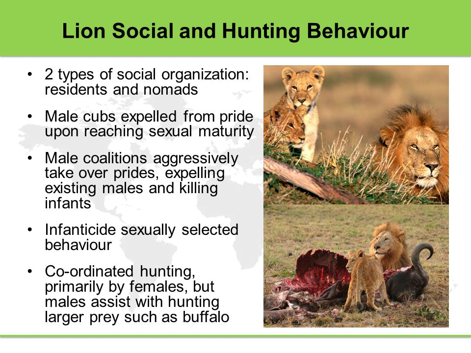 Lion Social and Hunting Behaviour 2 types of social organization: residents and nomads Male cubs expelled from pride upon reaching sexual maturity Male coalitions aggressively take over prides, expelling existing males and killing infants Infanticide sexually selected behaviour Co-ordinated hunting, primarily by females, but males assist with hunting larger prey such as buffalo