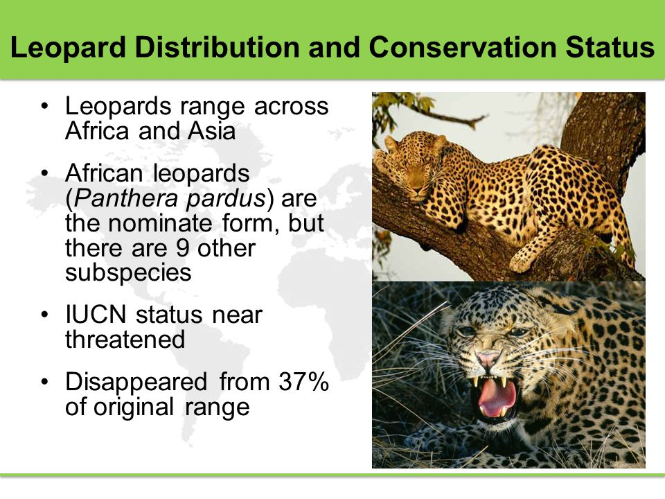 Leopard Distribution and Conservation Status Leopards range across Africa and Asia African leopards (Panthera pardus) are the nominate form, but there are 9 other subspecies IUCN status near threatened Disappeared from 37% of original range